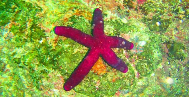estrella-de-mar-caribe