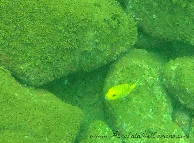 pez globo del caribe