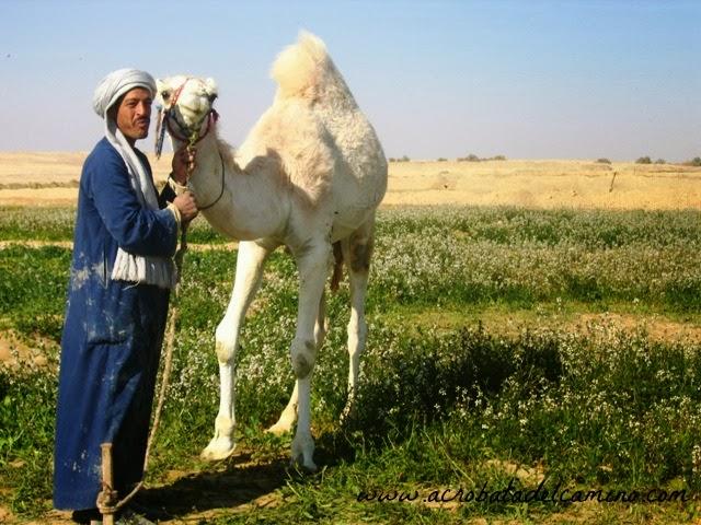 foto de un camello blanco