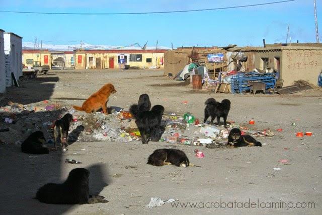 perros tibetanos