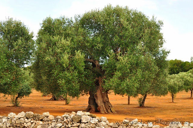 olivos de puglia