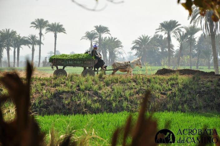 cosecha caña de azucar egipto