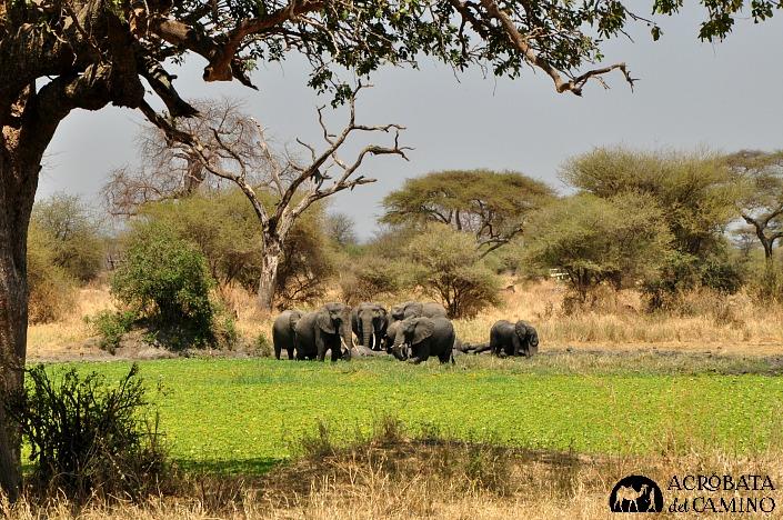 elefantes-en-pantano