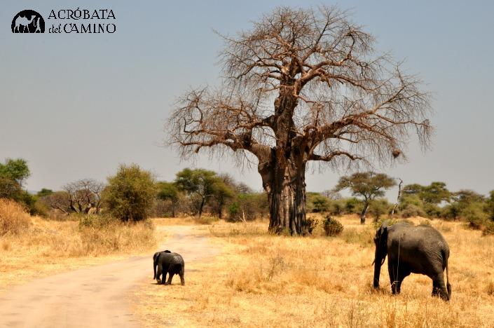 elefantes-baobabs