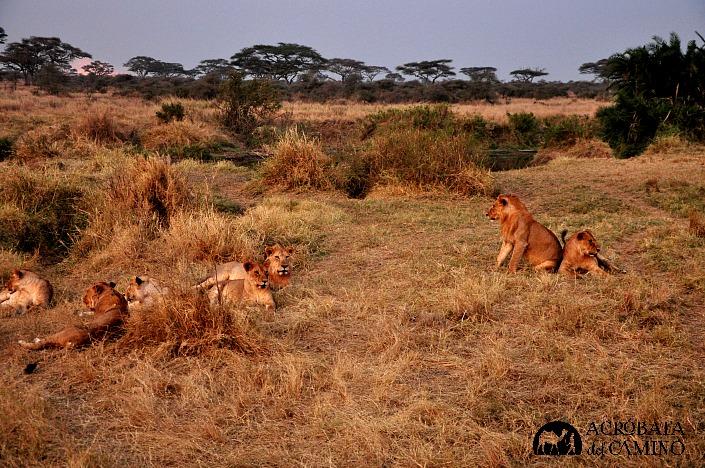 leones en manada