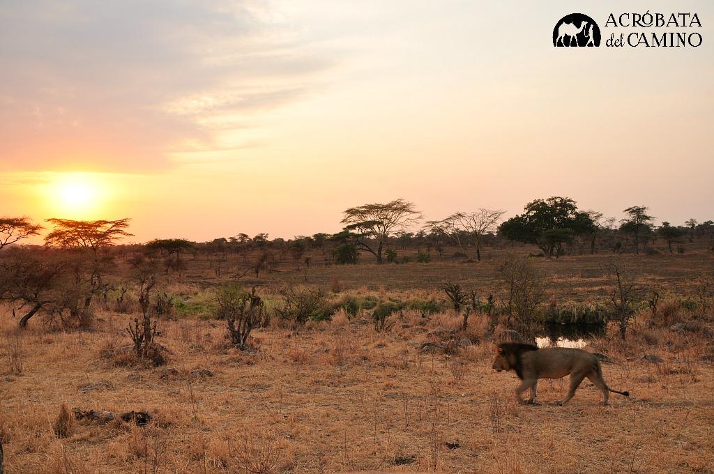leon-en-serengeti