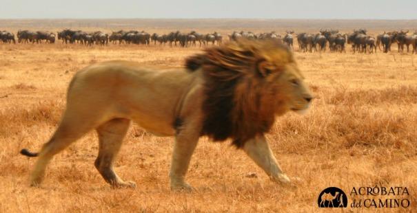 leon-ngorongoro