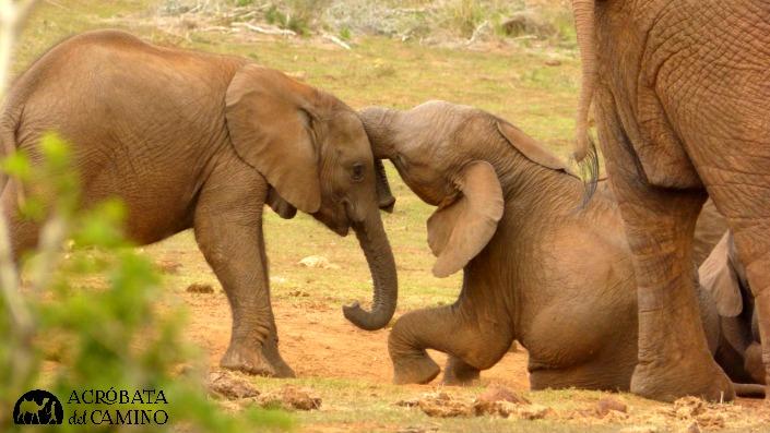 elefantes bebes jugando