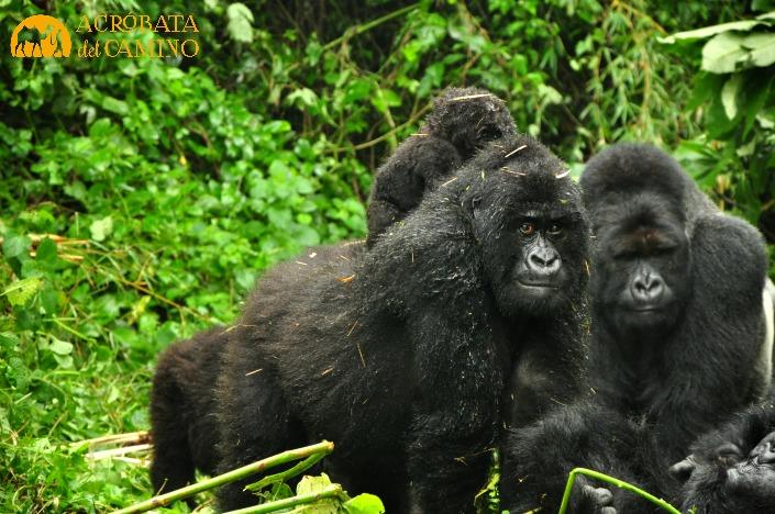Familia de gorilas en el Parque nacional Virunga,