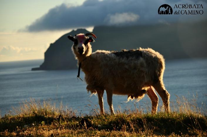 ovejas feroe