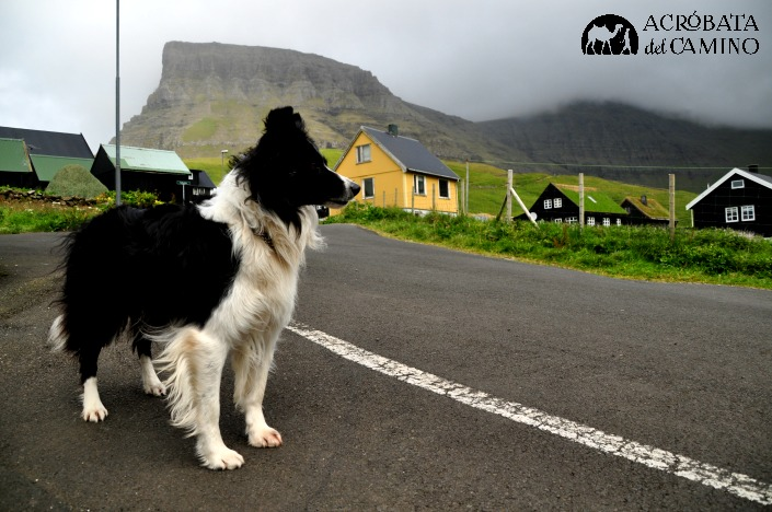 perro pastor feroe