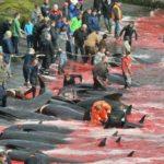 Caza de ballenas en las Islas Feroe: ¿salvajismo o práctica sostenible?