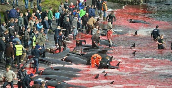 matanza de ballenas islas feroe