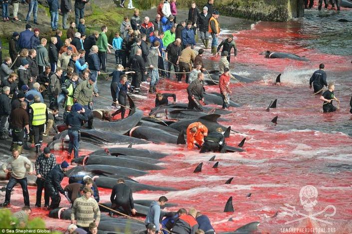 matanza ballenas islas feroe