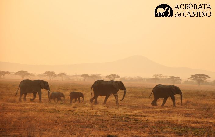 manada de elefantes al atardecer en Serengeti
