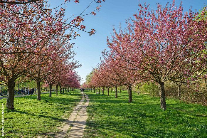 cerezos en flor Mauerpark Berlin