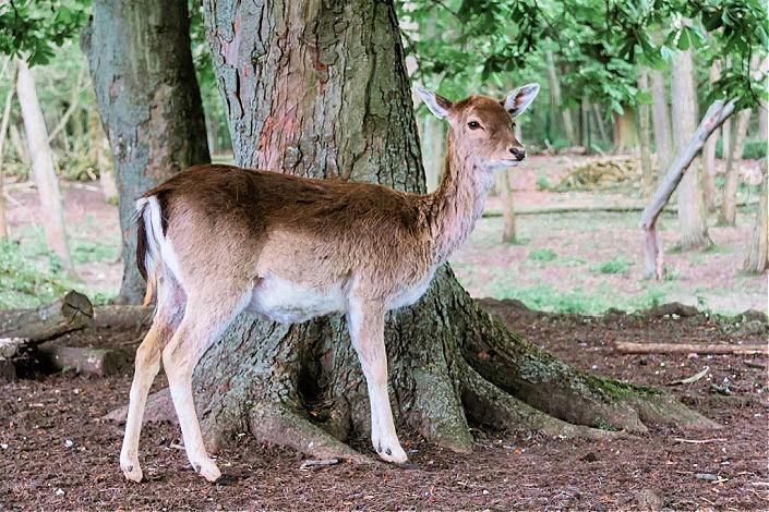 ciervos en Blankenfelde-Pankow